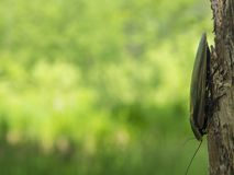 在树的蟑螂Blaberus 免版税库存图片