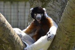 在树的被加冠的Sifaka狐猴星期六 免版税库存照片