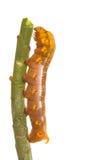 在树的被隔绝的蝴蝶幼虫 库存照片