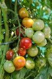 在树的西红柿 库存照片