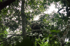 在树的西部凹地大猩猩,西部非洲雨林, Conkouati-Douli国家公园,刚果 图库摄影