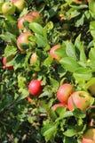 在树的许多红色苹果 库存照片