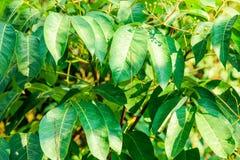 在树的许多绿色叶子与从太阳的光 免版税库存照片