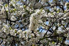 在树的豪华的春天绽放 免版税库存照片