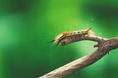 在树的软的毛虫 免版税库存图片