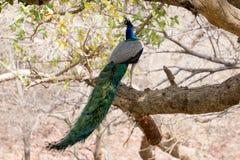 在树的野生孔雀 库存照片