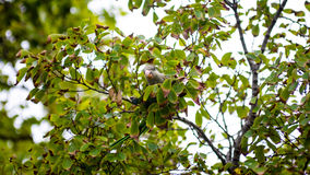 在树的野生灰色绿色鹦鹉在巴塞罗那公园,西班牙 免版税库存照片