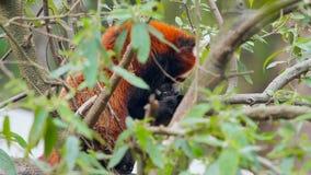 在树的野生红熊猫
