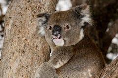 在树的野生考拉,当看您在袋鼠海岛时 免版税库存图片