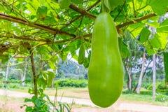 给在树的金瓜-泰国庭院打蜡 免版税库存照片