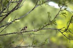 在树的金翅雀 库存照片