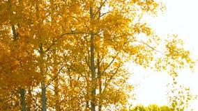 在树的金黄桦树叶子在日落的明亮的背景中 股票视频