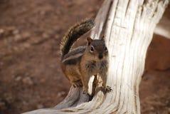 在树的金黄被覆盖的地松鼠 免版税库存照片