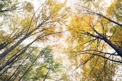 在树的金黄秋叶 库存图片