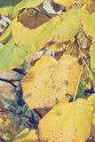 在树的金黄黄色秋叶,在一个晴天 库存图片
