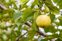 在树的金黄苹果 库存图片