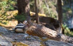在树的金黄被覆盖的地面squirl 免版税库存照片