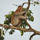 在树的长鼻猴 免版税图库摄影