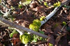 在树的青苔在俄勒冈 库存图片