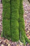 在树的青苔在森林里在秋天 免版税库存照片