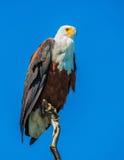 在树的非洲鱼鹰 免版税库存照片