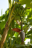 在树的香蕉 免版税库存图片