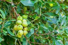 在树的马卡达姆坚果 免版税库存图片
