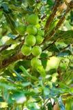 在树的马卡达姆坚果 免版税库存照片