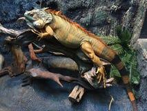 在树的鬣鳞蜥 免版税库存照片