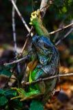 在树的鬣鳞蜥 免版税库存图片