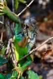 在树的鬣鳞蜥 库存照片