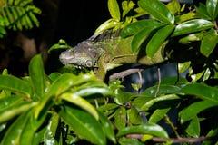 在树的鬣鳞蜥 免版税图库摄影