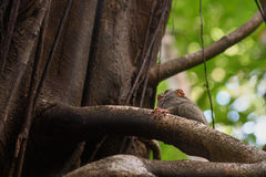 在树的鬼Tarsier在Tangkoko国家公园 库存照片