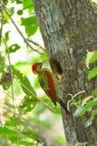 在树的鸟(绯红色飞过的啄木鸟)嵌套 库存图片