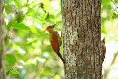 在树的鸟(绯红色飞过的啄木鸟)嵌套 免版税图库摄影