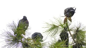 在树的鸽子 影视素材