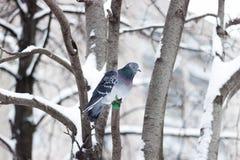 在树的鸽子 免版税库存图片