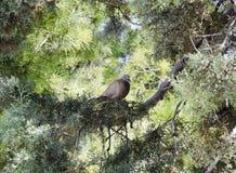 在树的鸽子 免版税库存照片