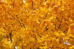 在树的黄色和橙色秋叶 槭树 免版税库存图片