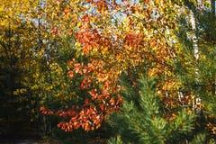 在树的黄色和红色秋叶 免版税库存照片