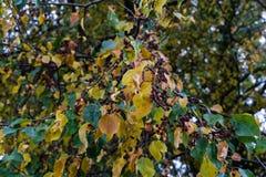 在树的黄色和绿色叶子在秋天晒干 库存图片