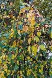在树的黄色和绿色叶子在秋天晒干 免版税库存图片