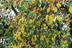 在树的黄色和绿色叶子在秋天晒干 免版税库存照片