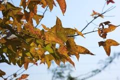 在树的黄色槭树叶子 免版税库存照片