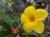在树的黄色黄蔓花 免版税库存照片