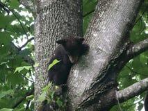 在树的黑熊 免版税库存照片
