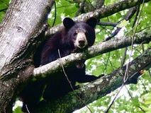 在树的黑熊 图库摄影