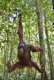 在树的黑猩猩 中央Bornean猩猩类人猿pygmaeus wurmbii在自然生态环境 在热带雨林的狂放的自然 免版税库存照片