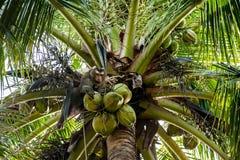 在树的猴子劫掠的椰子 库存图片