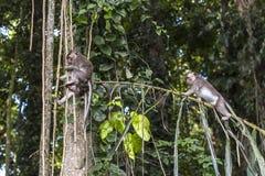 在树的猴子在猴子森林,巴厘岛里 库存图片